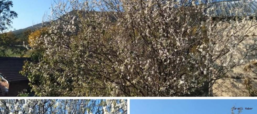 Kasım Ayında Erik Ağacı çiçek Açtı
